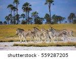 zebras migration in... | Shutterstock . vector #559287205