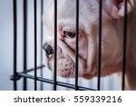 Close Up Of French Bulldog...