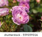 macro of beautiful purple rose... | Shutterstock . vector #559359316