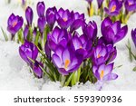 spring crocus in the snow  lit... | Shutterstock . vector #559390936