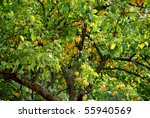Apricot Tree With Fruits In Th...