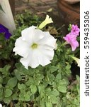 Petunia Axillaris Or Large...