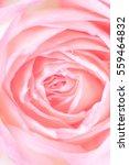 Close Up Of Beautiful  Rose...