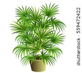 indoor palm tree  rhapis... | Shutterstock .eps vector #559472422