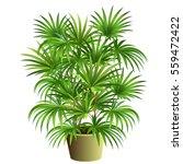 indoor palm tree  rhapis... | Shutterstock .eps vector #559472422