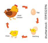 life cycle of the chicken | Shutterstock .eps vector #559532596
