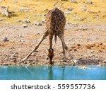 Thirsty Giraffe Drinking From...