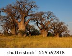 baines baobab from nxai pan... | Shutterstock . vector #559562818