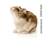 Hamster Sitting Isolated On...