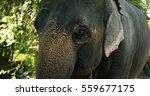Portrait Of Asian Elephant In...