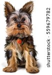 Stock photo yorkshire terrier 559679782