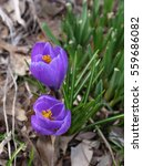 Two Purple Crocuses With Brigh...