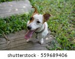 Stock photo jack russell terrier 559689406
