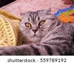 Surprised Look Of A Scottish Cat