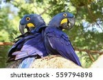pair of hyacinth macaws...   Shutterstock . vector #559794898
