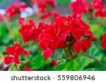 Red Geraniums In A Summer...