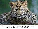 An Amur Leopard Cub Lounges In...