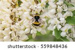 a wild bee collecting nectar on ... | Shutterstock . vector #559848436