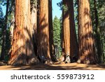 Redwoods of Giant Redwoods National Park California. U.S