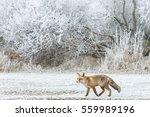 Red Fox Iin A Winter Landscape.