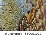 pheasant feather | Shutterstock . vector #560001022