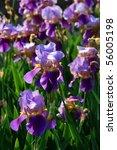 purple iris flowers   Shutterstock . vector #56005198