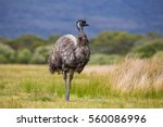 Australia Wild Emu Found In...