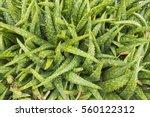 top view of aloe vera plant... | Shutterstock . vector #560122312