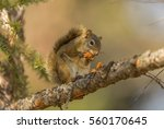 wild cute squirrel eating a cone | Shutterstock . vector #560170645