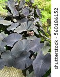 Small photo of Alocasia plant with dark purple leaves