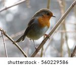 European Robin In The...