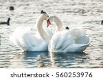 Swan Couple Love