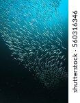 Sardines Fish In Ocean