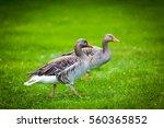 Geese On Green Meadow.  Geese...