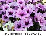 Two Tones Of Purple Petunia...