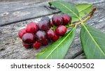 prunus laurocerasus   cherry... | Shutterstock . vector #560400502