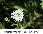Small photo of Beautifu, white Capsella in a field