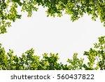green leaves frame isolated on... | Shutterstock . vector #560437822