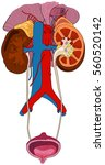 urinary renal system of human... | Shutterstock .eps vector #560520142
