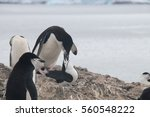 mating  chinstrap penguins at... | Shutterstock . vector #560548222