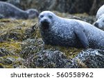 harbor seal resting on a big... | Shutterstock . vector #560558962