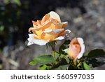 Hybrid Tea Rose \'special...