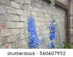 Blue Foxgloves In Garden...