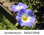 """Blue  White And Yellow """"dwarf..."""
