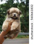 Small photo of little adorable baby hairy puppy