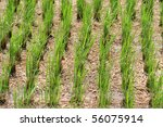 Green rice plants in early stage - stock photo