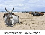a herd of nguni cows with big...