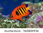 Flame Angelfish  Centropyge...