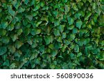 Ivy Texture. Ivy Hedge...