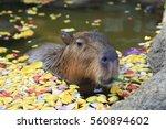 bathing of the capybara | Shutterstock . vector #560894602